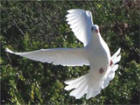 White Doves of Hawaii